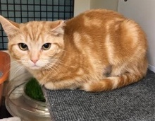 [another picture of Stubby, a Manx orange\ cat]