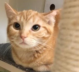 [picture of Stubby, a Manx orange\ cat]