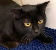 A picture of #ET02241: Rey a Domestic Medium Hair black