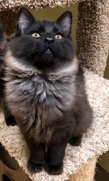 [another picture of Prince, a Maine Coon-x black fever coat\ cat]