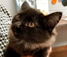 [picture of Prince, a Maine Coon-x black fever coat\ cat]