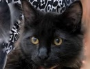 A picture of #ET02243: Chuk Berry a Maine Coon-x black