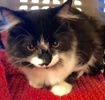 A picture of #ET02246: Tina a Maine Coon-x black/white
