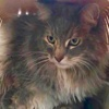 A picture of #ET02247: Ladybug a Ragdoll Mix gray