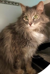 [picture of Ladybug, a Ragdoll Mix gray cat]