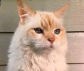 A picture of #ET02248: Frankie a Ragdoll Mix flame point