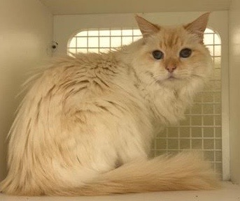 [another picture of Frankie, a Ragdoll Mix flame point\ cat]