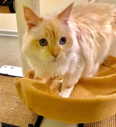 [picture of Frankie, a Ragdoll Mix flame point cat]