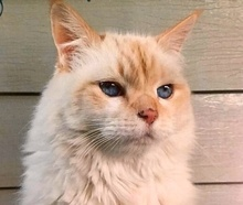 [picture of Frankie, a Ragdoll Mix flame point\ cat]