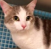 A picture of #ET02249: Angelas a Domestic Short Hair white/blue