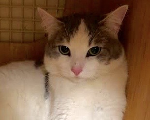 [picture of Angelas, a Domestic Short Hair white/blue cat]