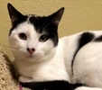 A picture of #ET02250: Sly a Domestic Medium Hair white/black