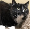 A picture of #ET02251: Tucker a Maine Coon-x black/white tuxedo