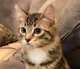 A picture of #ET02252: Autumn a Domestic Medium Hair brown tabby/white