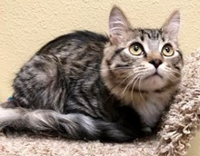[another picture of Autumn, a Domestic Medium Hair brown tabby/white\ cat]