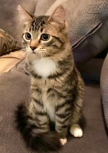 [picture of Autumn, a Domestic Medium Hair brown tabby/white cat]