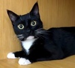 A picture of #ET02253: Shauntell a Domestic Short Hair black/white tuxedo