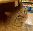A picture of #ET02254: Big G a Domestic Short Hair orange tabby