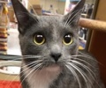 A picture of #ET02256: Louise a Domestic Short Hair blue/white