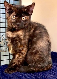 [another picture of Adidas, a Domestic Short Hair tortie\ cat]