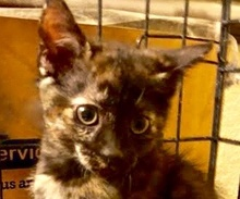 [picture of Adidas, a Domestic Short Hair tortie\ cat]