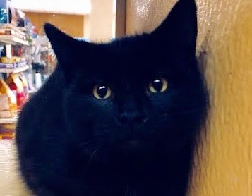[picture of Tuesday, a Hemmingway Polidactyl black\ cat]