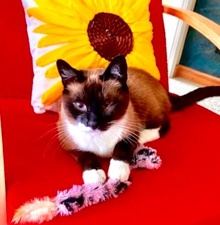 [another picture of Liza, a Siamese snowshoe\ cat]
