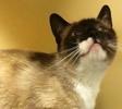 [picture of Liza, a Siamese snowshoe cat]