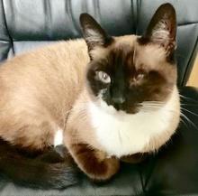 [picture of Liza, a Siamese snowshoe\ cat]