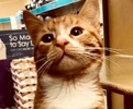 A picture of #ET02265: Buddy B a Domestic Short Hair orange