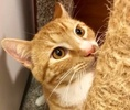 [picture of Buddy B, a Domestic Short Hair orange cat]