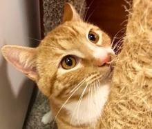 [picture of Buddy B, a Domestic Short Hair orange\ cat]