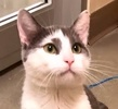 A picture of #ET02267: Garrigan a Domestic Short Hair white/blue