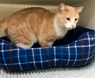 [picture of Cheramie, a Domestic Medium Hair buff/white cat]