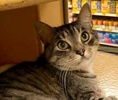A picture of #ET02269: Raleigh a Domestic Short Hair silver tabby/white