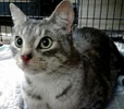 [picture of Raleigh, a Domestic Short Hair silver tabby/white cat]