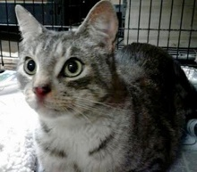 [picture of Raleigh, a Domestic Short Hair silver tabby/white\ cat]