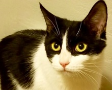 [picture of Rylie, a Domestic Short Hair black/white\ cat]