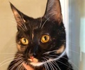 A picture of #ET02271: Coco a Domestic Medium Hair calico