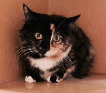 [another picture of Daisy Mae, a Domestic Medium Hair calico half/half face\ cat]