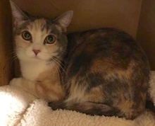 [another picture of Butterscotch, a Domestic Short Hair dilute calico\ cat]