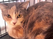 [picture of Butterscotch, a Domestic Short Hair dilute calico\ cat]
