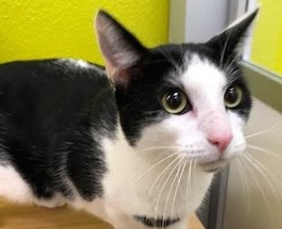 [picture of Friday, a Domestic Short Hair black/white\ cat]