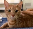 A picture of #ET02275: Del a Domestic Short Hair orange tabby