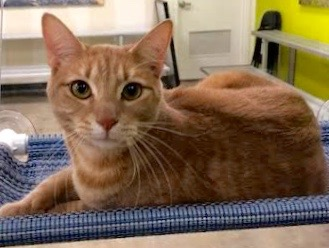 [another picture of Del, a Domestic Short Hair orange tabby\ cat]