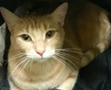 [picture of Del, a Domestic Short Hair orange tabby cat]