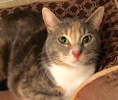 A picture of #ET02276: Mara a Domestic Short Hair dilute calico