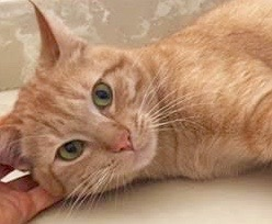 [picture of Harrvey, a Domestic Short Hair orange\ cat]