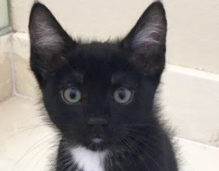 [picture of Koby, a Domestic Short Hair black/white\ cat]