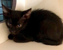 [another picture of Tobbie, a Domestic Short Hair black stripe\ cat]